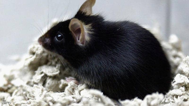 انقراض سلالات نادرة من الفئران