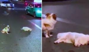 وفاء الكلاب كلب يربض بجانب صديقه الكلب ثلاثة ساعات الذي دهسته سيارة
