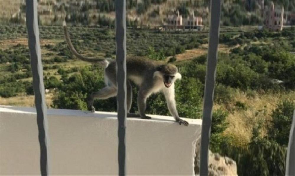 """الامم المتحدة تتدخل من اجل القرد """"طشطوش"""" شاهد التفاصيل"""